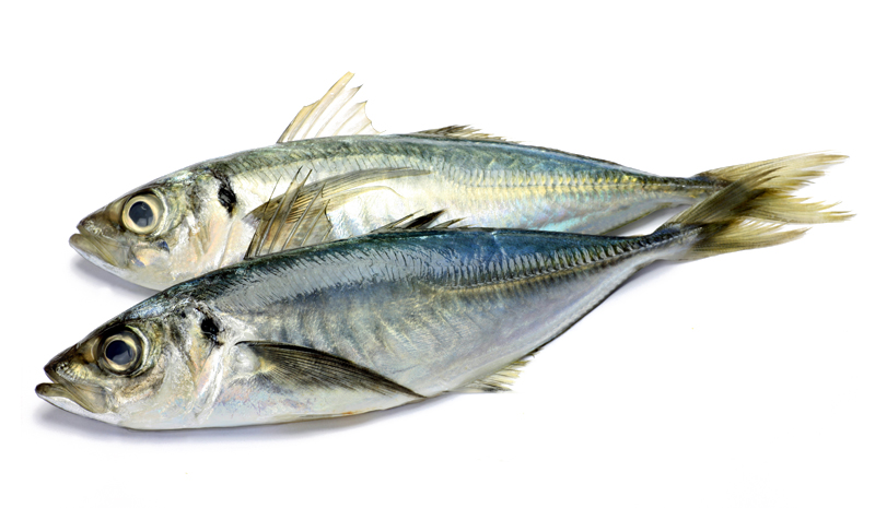 Horse Mackerel-Hake-Croaker-Titus-Rete-Herrings-Blue whiting other Fish suppliers needed asap.